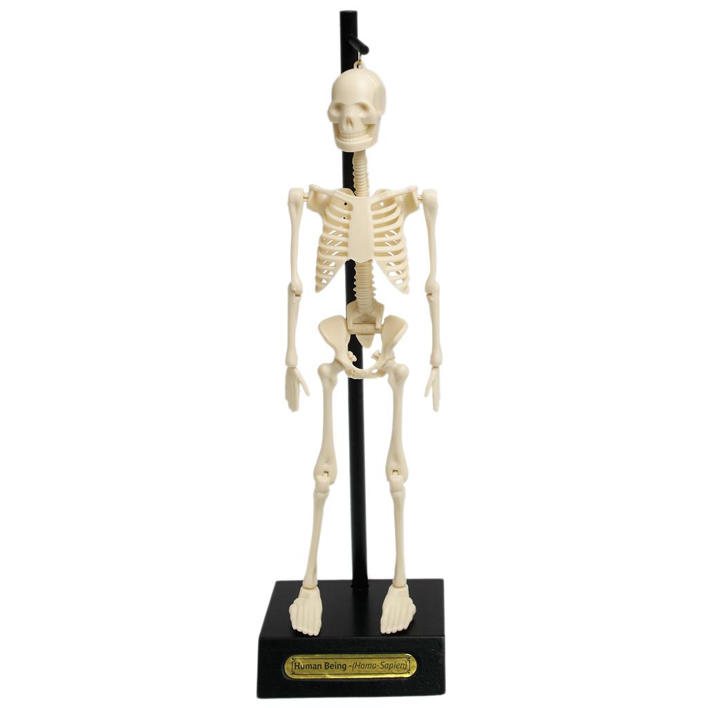 Anatomical Skeleton Model | Wholesale & Trade | Rex London